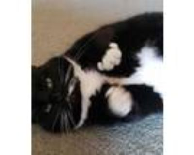 Adopt Sophia Gean a Tuxedo, Domestic Medium Hair