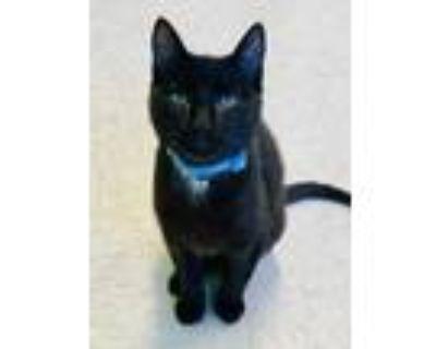 Adopt Algernon a All Black Domestic Shorthair / Domestic Shorthair / Mixed cat