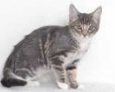 Adopt ZANE a Gray or Blue Domestic Shorthair / Mixed (short coat) cat in