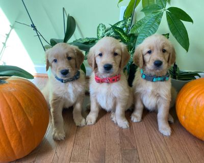 Golden Retriever Puppies Ready Now