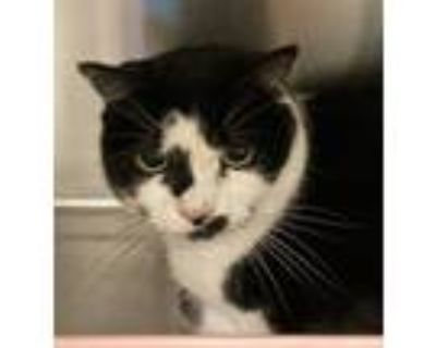 Adopt Oreo a Domestic Shorthair / Mixed cat in Golden, CO (32073531)