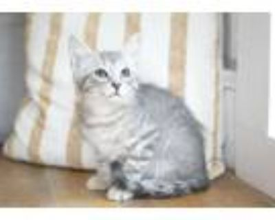 Adopt Rascal a Gray, Blue or Silver Tabby Domestic Shorthair (short coat) cat in