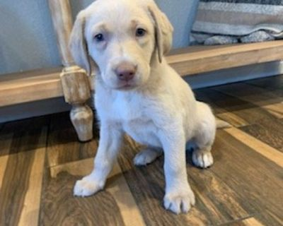 AKC Registered Labrador retriever Puppy Champagne White