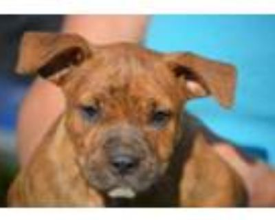 Adopt Rage a Brindle Boxer / Mixed dog in Chester Springs, PA (31675143)