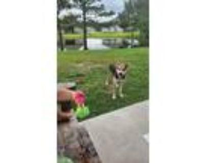 Adopt Topcoat a Tricolor (Tan/Brown & Black & White) Beagle / American Pit Bull