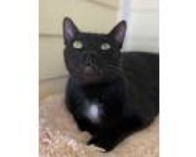 Adopt Sunny a All Black Domestic Shorthair / Domestic Shorthair / Mixed cat in