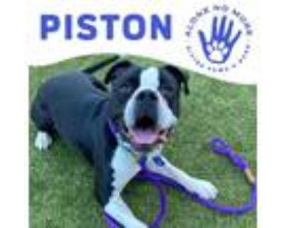 Adopt Piston a Black Boxer / American Pit Bull Terrier / Mixed dog in Phoenix