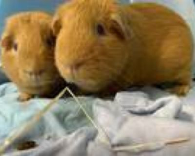 Adopt BUTTERSCOTCH a Golden Guinea Pig / Mixed small animal in Boston