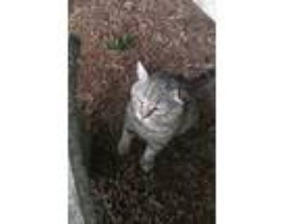Adopt Garfield a Tiger Striped American Shorthair / Mixed (short coat) cat in