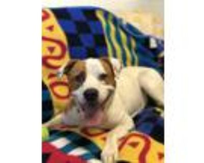 Adopt GUINEVERE a Pit Bull Terrier
