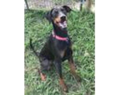 Adopt Carla (Terrell) a Black Doberman Pinscher / Mixed dog in Grand Prairie