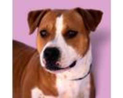 Adopt Sorrel# Video - adoption fee lowered a Brown/Chocolate Boxer / Mixed Breed
