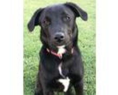 Adopt Mabank Puppy: Paris a Labrador Retriever