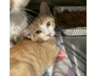 Adopt Spot a Orange or Red Domestic Shorthair / Mixed cat in Cumming