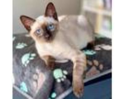Adopt Cocoa a White (Mostly) Siamese / Mixed cat in Long Beach, CA (32054248)