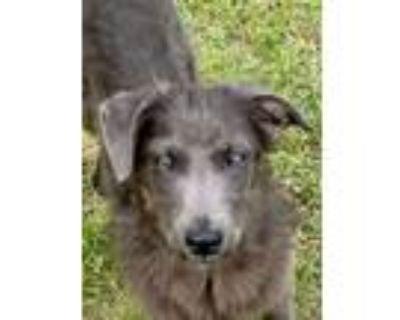 Adopt Wally - new pics! a Golden Retriever, Schnauzer