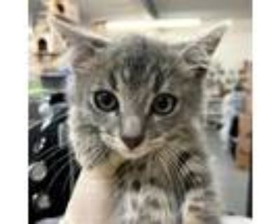 Adopt Suzy a Brown or Chocolate Domestic Shorthair / Mixed cat in Hemet