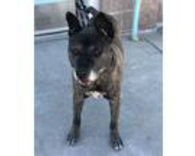 Adopt MOSES a Brindle American Pit Bull Terrier / Mixed dog in Albuquerque