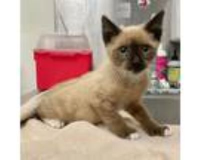 Adopt Rome a Tan or Fawn Siamese / Mixed cat in Los Angeles, CA (31908994)