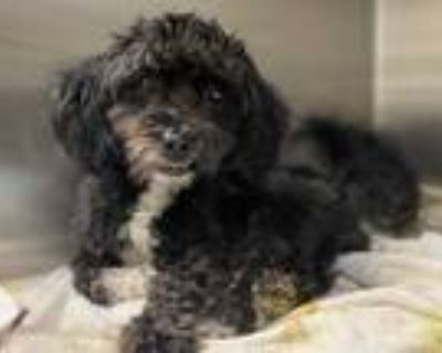 Adopt RONNIE a Black - with White Mixed Breed (Medium) / Mixed dog in Los