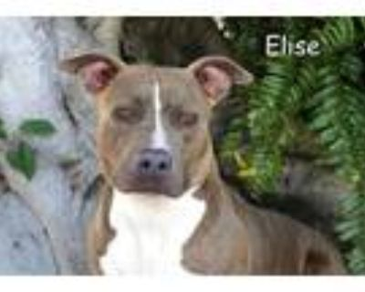 Adopt ELISE a Brindle - with White American Pit Bull Terrier / Mixed dog in Fort
