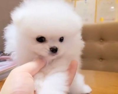 Pomeranian Males and female