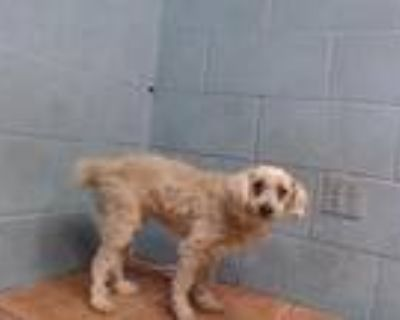 Adopt ABBY a Poodle, Mixed Breed