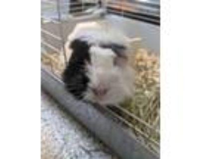 Adopt Petra a Guinea Pig