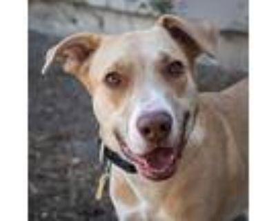 Baxter, Labrador Retriever For Adoption In Pt. Richmond, California