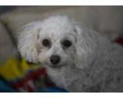 Adopt Nina a Tan/Yellow/Fawn Poodle (Miniature) / Mixed dog in Colorado Springs
