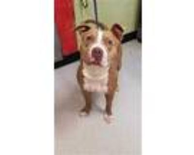 Adopt SANDMAN a Tan/Yellow/Fawn - with White American Pit Bull Terrier / Mixed