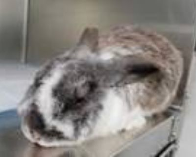 Adopt LADY HOP a Black Other/Unknown / Mixed rabbit in Albuquerque