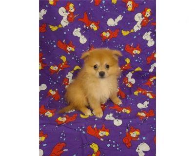 Pomeranian-Justyn-Male