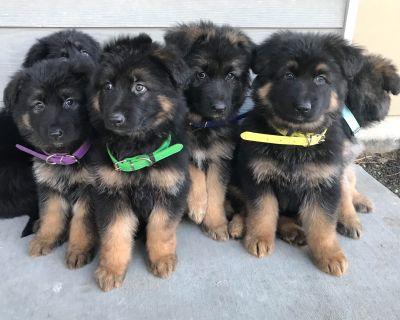 German Shepherd Dog Puppies PLUSH coat