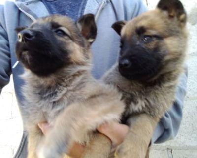 belgian malinois  puppies  el paso texas