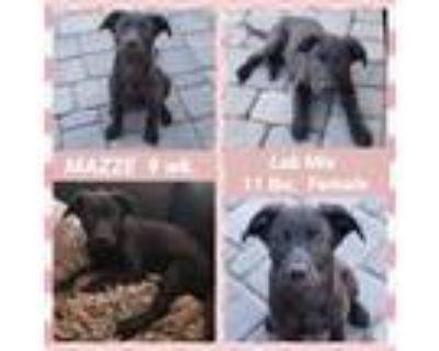 Adopt MAZZE a Labrador Retriever, Hound