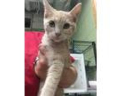 Adopt BUFF BUFF a Cream or Ivory Domestic Shorthair / Mixed (short coat) cat in