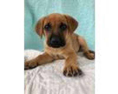 Adopt Twinkie a Red/Golden/Orange/Chestnut - with Black Shepherd (Unknown Type)