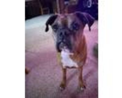 Adopt Gordie a Tan/Yellow/Fawn - with White Boxer / Mixed dog in Independence