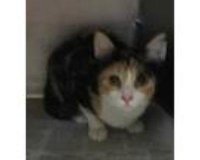 Adopt 47970640 a All Black Domestic Shorthair / Domestic Shorthair / Mixed cat