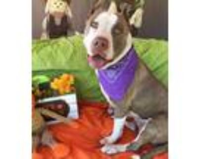 Adopt Chocolate a Staffordshire Bull Terrier