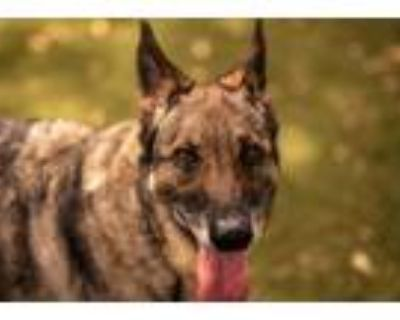 Adopt SADIE a German Shepherd Dog, Mixed Breed