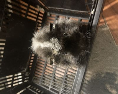 Guinea Pigs and Piglets for Sale