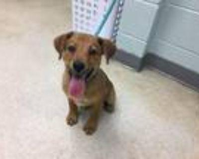 Adopt OAKLEY a Labrador Retriever, Mixed Breed