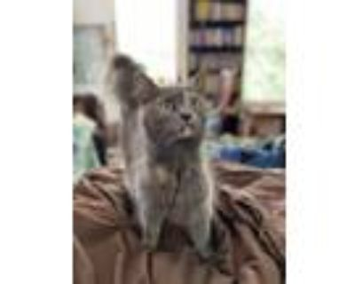 Adopt Sophie a Maine Coon, Dilute Tortoiseshell