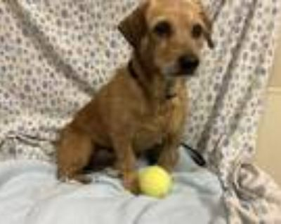 Adopt *TAFFY a Brown/Chocolate - with Black Dachshund / Mixed dog in Modesto