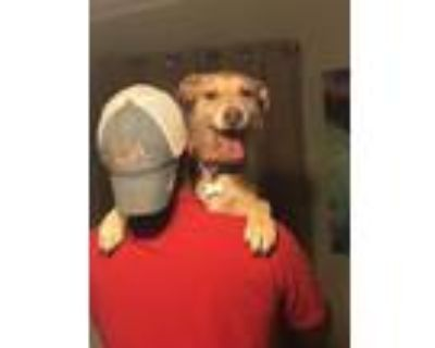 Adopt Garrett a Tan/Yellow/Fawn Labrador Retriever / Terrier (Unknown Type