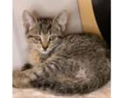 Adopt Shenanigans a Brown or Chocolate Domestic Shorthair / Mixed cat in