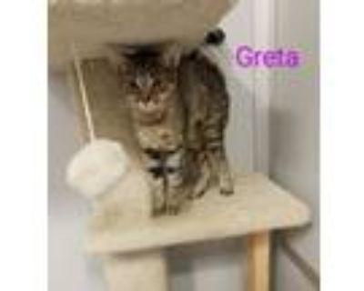 Adopt Greta a Domestic Short Hair