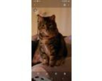 Adopt Piper a Brown or Chocolate (Mostly) American Shorthair / Mixed (medium